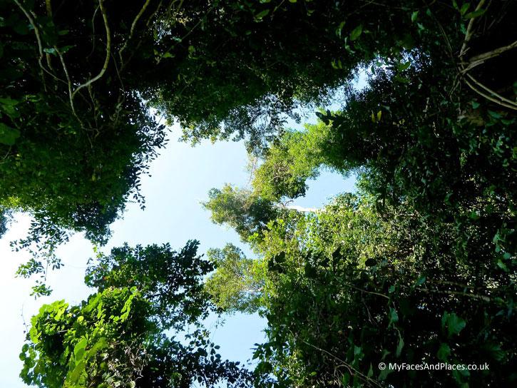 Gaya Island Resort - Lofty trees soar up to dizzy heights on our nature walk